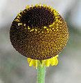 Heleniumpuberulum.jpg