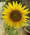 Helianthus-Sunflower (3).JPG