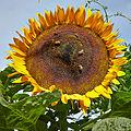 Helianthus annuus-IMG 9242.jpg
