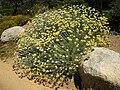 Helichrysum orientale 5 (Corse).JPG