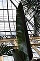Heliconia She Kong 1zz.jpg