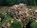 Hen of the Woods (Grifola frondosa) (5169557976).jpg