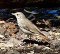 Hermit Thrush. Catharus guttatus - Flickr - gailhampshire.jpg
