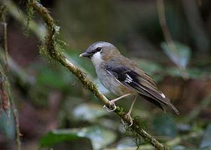 Grey-headed robin - Perching on a branch