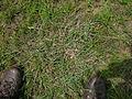 Heteropogon contortus plant10 (8232582799).jpg