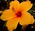 Hibiscus fourteen.jpg