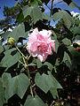 Hibiscus mutabilis (4).JPG