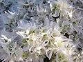 Hierba de plata - Paronychia - (17630646589).jpg