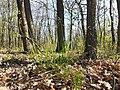 Hierochloe australis sl58.jpg