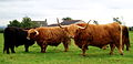 Highland Cattle at Gretna Green 1.jpg