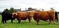 Highland Cattle at Gretna Green 1.jpg