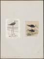 Himantopus leucocephalus - 1700-1880 - Print - Iconographia Zoologica - Special Collections University of Amsterdam - UBA01 IZ17400191.tif