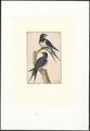 Hirundo rustica - 1753-1834 - Print - Iconographia Zoologica - Special Collections University of Amsterdam - UBA01 IZA1000292.tif