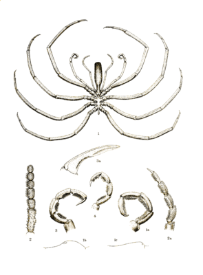 Colossendeis australis on a plate from the first description by Thomas Vere Hodgson