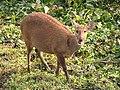 Hog Deer Kaziranga Tiger Reserve 02.jpg