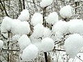 Hogweed Snow Balls - geograph.org.uk - 1144638.jpg
