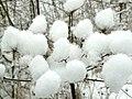 Hogweed Snow Balls - geograph.org.uk - 1144638.jpg