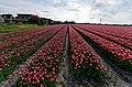 Hollands Kroon - 't Veld - Zwarteweg - Panorama View on Tulips 7.jpg