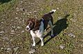 Holly 9 Month Old English Springer Spaniel Female.jpg