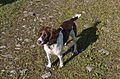 Holly 9 Month Old English Springer Spaniel Female.jpg