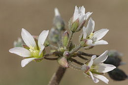 Holosteum umbellatum (Dolden-Spurre) IMG 36728