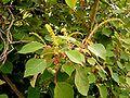 Homalanthus populifolius 06 ies.jpg