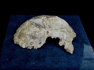 Samu (fossil) - Image: Homo erectus palaeohungaricus