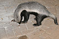 Honey Badger (Mellivora capensis) (17427278831).jpg