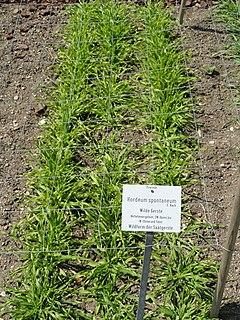 <i>Hordeum spontaneum</i> species of plant