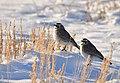 Horned Larks on Seedskadee National Wyoming (33057960552).jpg