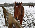 Horses and snow on the Aylestone Meadows - geograph.org.uk - 1145452.jpg