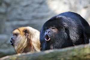 Howler monkey - A pair of black howler monkeys (Alouatta caraya) vocalising