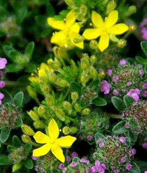Hudsonia ericoides - Image: Hudsonia ericoides