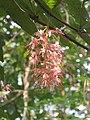 Humboldtia brunonis - Brown's Humboldtia at Peravoor (4).jpg