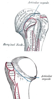 Humeral-head-anterior-posterior.png