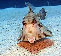 Humpback Turretfish - Tetrosomus gibbosus 2.jpg