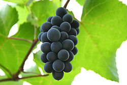 Hungarian red grape Isabelle.jpg