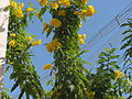 Hybrids plants yellow flower 2.jpg
