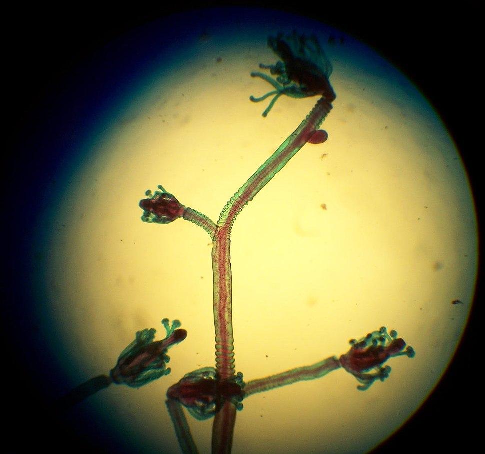 Hydrozoa colony