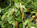 Hygroryza aristata 171015 02.jpg