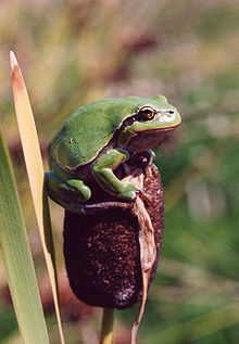 Hyla arborea on Typha.jpg