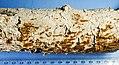 Hymenochaete curtisii (Berk.) Morgan 855267.jpg