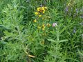 Hypericum sp. 2 - wetland.jpg