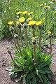 Hypochoeris uniflora ENBLA01.jpg