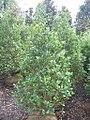 Ilex aquifolium Siberia Limsi 0zz.jpg