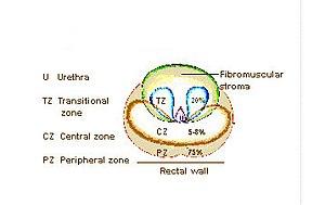 Prostatic urethra - Image: Illu prostate zones