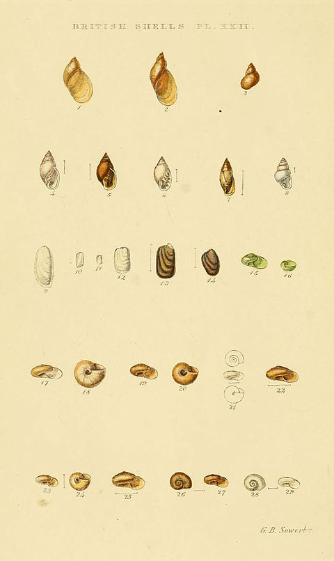 Illustrated Index of British Shells Plate 22.jpg