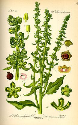 Illustration Beta vulgaris var. rapacea0