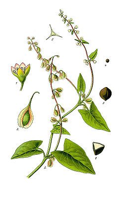 Illustration Fallopia dumetorum1.jpg