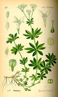 Illustration Galium odorata0.jpg